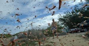 Serangan Belalang di Sumba Timur Melebihi Ambang Batas, Begini Reaksi DPRD NTT