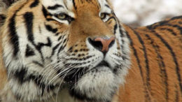 Kedatangan Harimau Bonita, 20 Pekerja Yang Sedang Panen Sawit Panik Dan Kabur